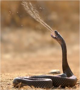 Cobra Snake Spraying Venom