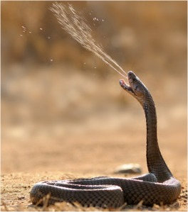 Cobra Snake Spraying Venom